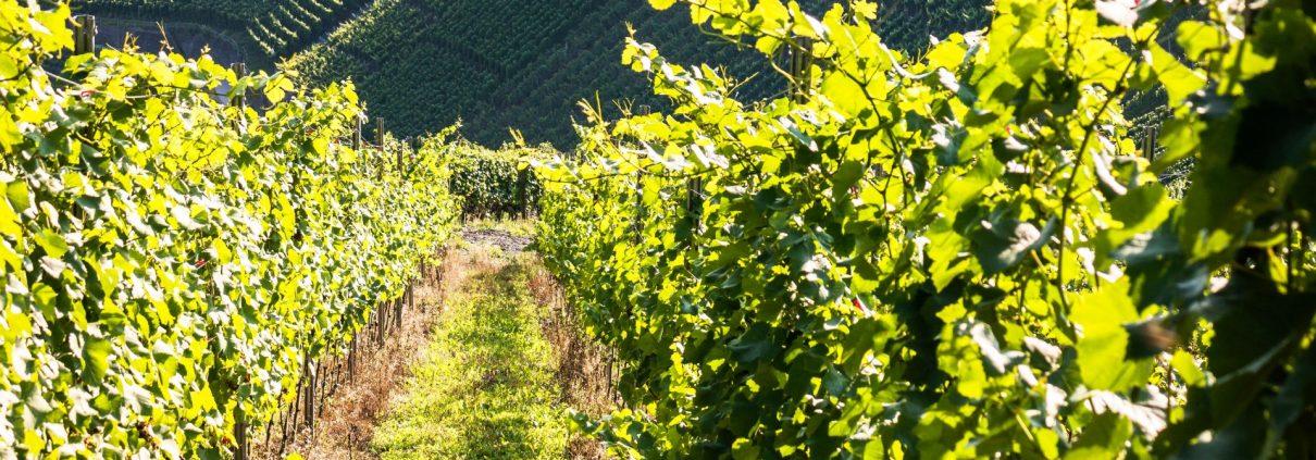 Vitigni più diffusi in Trentino Alto Adige
