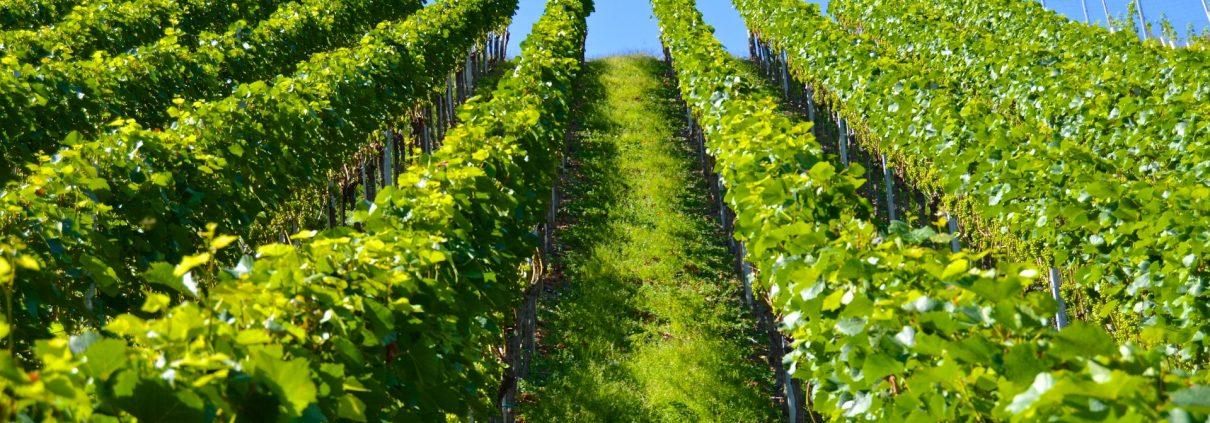 vitigni più diffusi in Liguria