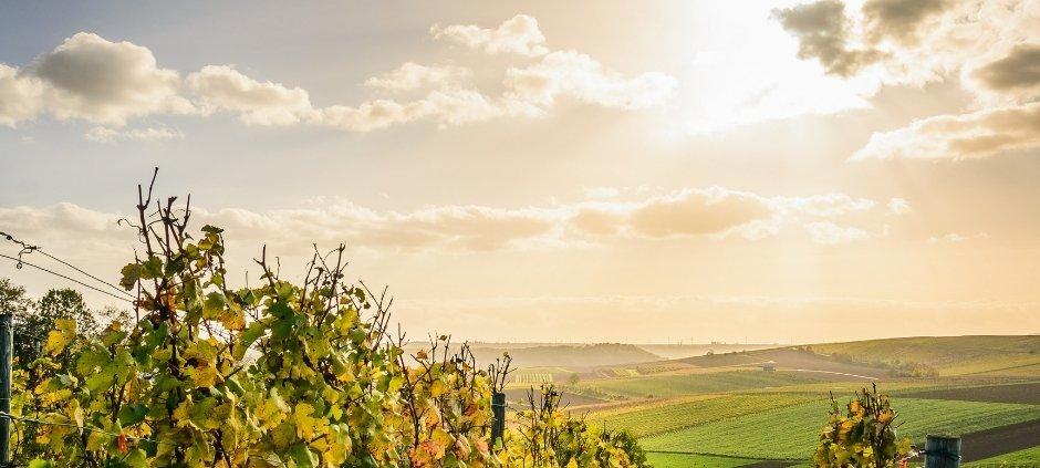 vitigni più diffusi in Campania